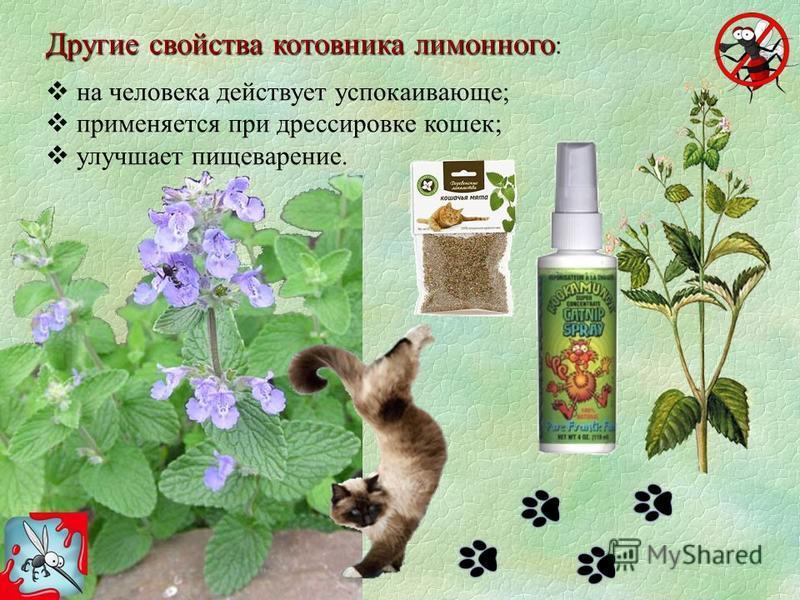 Другие свойства котовника лимонного Другие свойства котовника лимонного : на человека действует успокаивающе; применяется при дрессировке кошек; улучшает пищеварение.