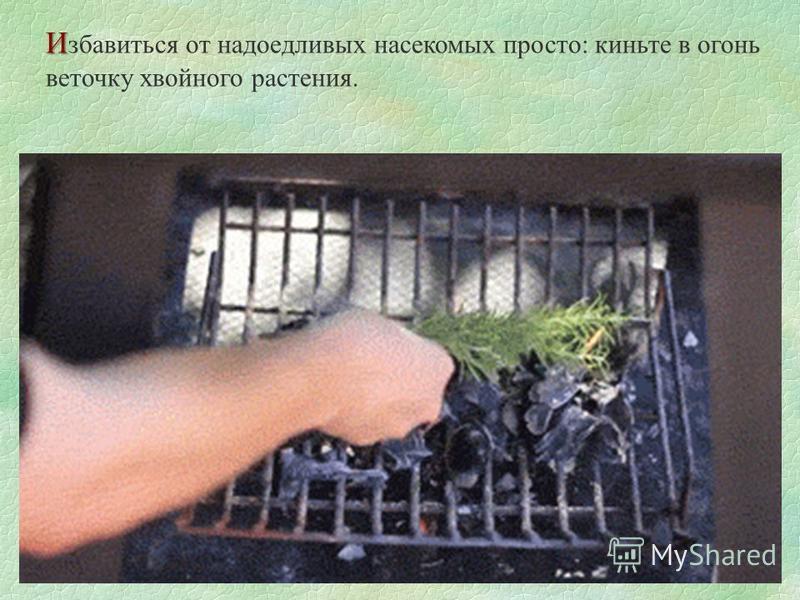И И збавиться от надоедливых насекомых просто: киньте в огонь веточку хвойного растения.