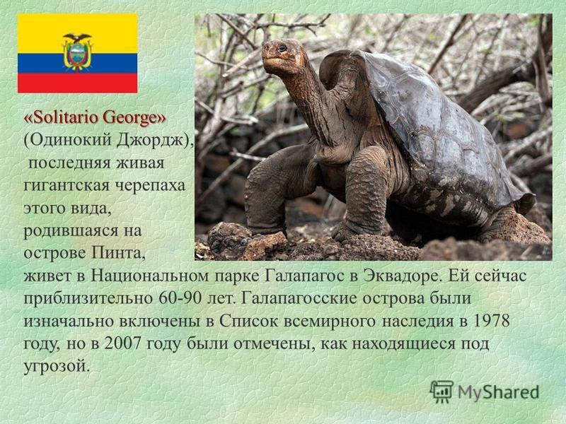 «Solitario George» (Одинокий Джордж), последняя живая гигантская черепаха этого вида, родившаяся на острове Пинта, живет в Национальном парке Галапагос в Эквадоре. Ей сейчас приблизительно 60-90 лет. Галапагосские острова были изначально включены в С