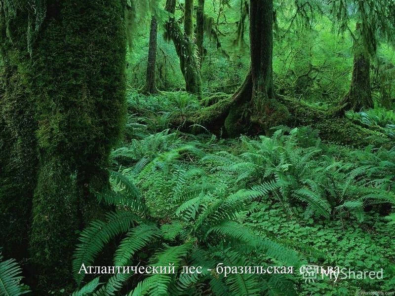 Атлантический лес - бразильская сельва