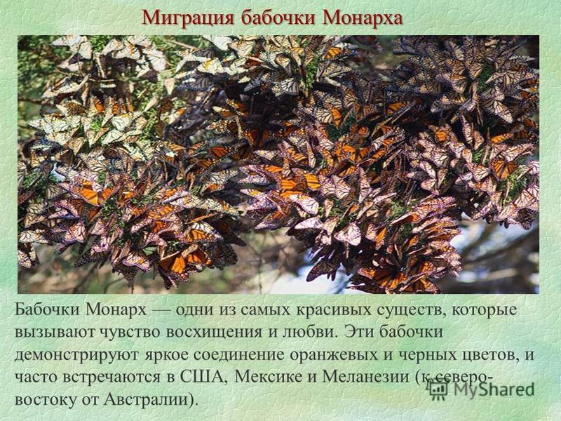 Миграция бабочки Монарха Бабочки Монарх одни из самых красивых существ, которые вызывают чувство восхищения и любви. Эти бабочки демонстрируют яркое соединение оранжевых и черных цветов, и часто встречаются в США, Мексике и Меланезии (к северо- восто