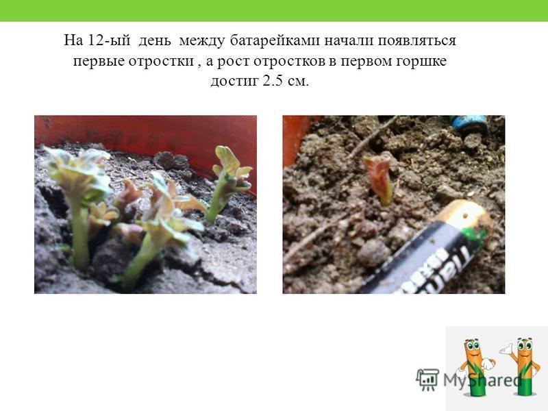 На 12-ый день между батарейками начали появляться первые отростки, а рост отростков в первом горшке достиг 2.5 см.