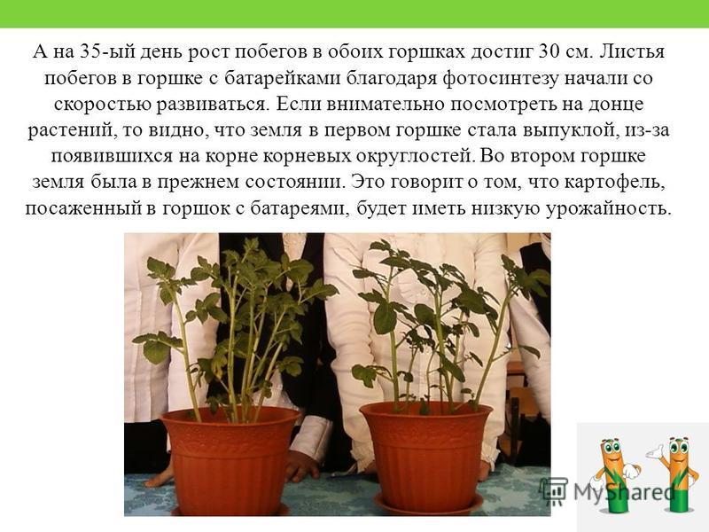 А на 35-ый день рост побегов в обоих горшках достиг 30 см. Листья побегов в горшке с батарейками благодаря фотосинтезу начали со скоростью развиваться. Если внимательно посмотреть на донце растений, то видно, что земля в первом горшке стала выпуклой,