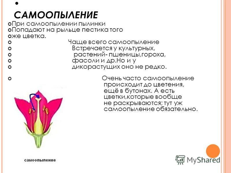 САМООПЫЛЕНИЕ При самоопылении пылинки Попадают на рыльце пестика того же цветка. Чаще всего самоопыление Встречается у культурных, растений- пшеницы,гороха, фасоли и др.Но и у дикорастущих оно не редко. Очень часто самоопыление происходит до цветения