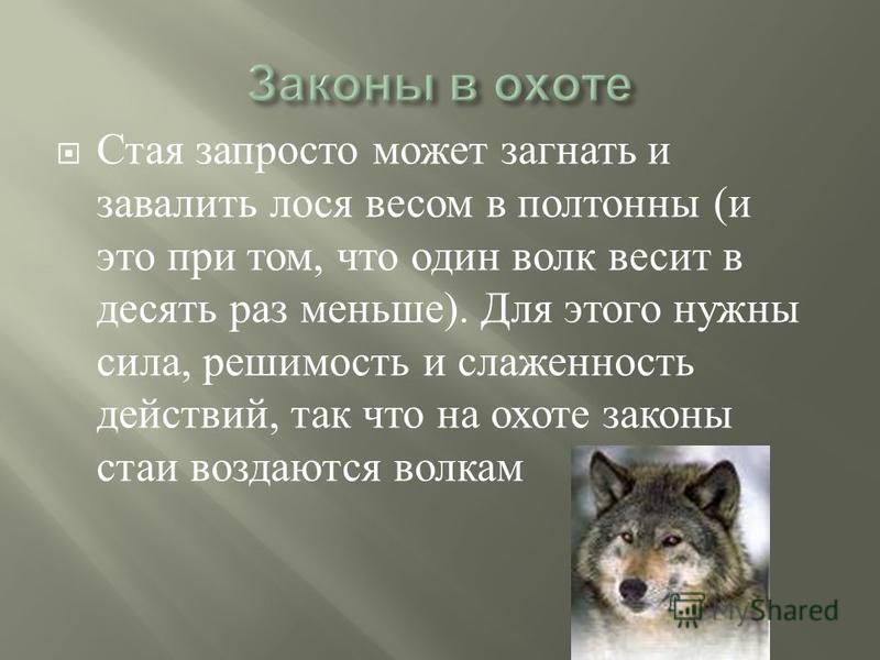 Стая запросто может загнать и завалить лося весом в полтонны ( и это при том, что один волк весит в десять раз меньше ). Для этого нужны сила, решимость и слаженность действий, так что на охоте законы стаи создаются волкам