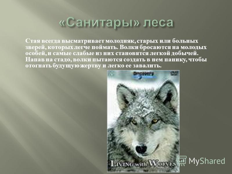 Стая всегда высматривает молодняк, старых или больных зверей, которых легче поймать. Волки бросаются на молодых особей, и самые слабые из них становятся легкой добычей. Напав на стадо, волки пытаются создать в нем панику, чтобы отогнать будущую жертв