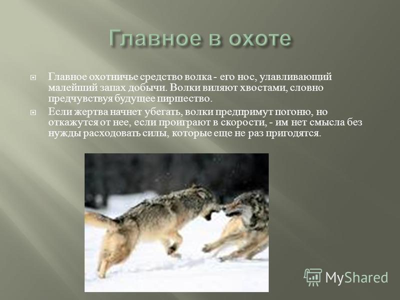 Главное охотничье средство волка - его нос, улавливающий малейший запах добычи. Волки виляют хвостами, словно предчувствуя будущее пиршество. Если жертва начнет убегать, волки предпримут погоню, но откажутся от нее, если проиграют в скорости, - им не
