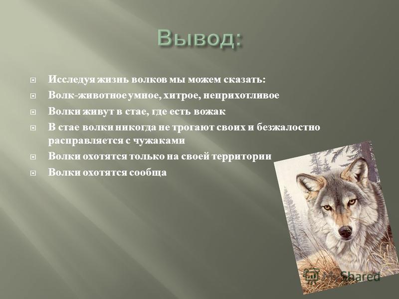 Исследуя жизнь волков мы можем сказать : Волк - животное умное, хитрое, неприхотливое Волки живут в стае, где есть вожак В стае волки никогда не трогают своих и безжалостно расправляется с чужаками Волки охотятся только на своей территории Волки охот