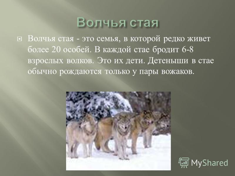 Волчья стая - это семья, в которой редко живет более 20 особей. В каждой стае бродит 6-8 взрослых волков. Это их дети. Детеныши в стае обычно рождаются только у пары вожаков.