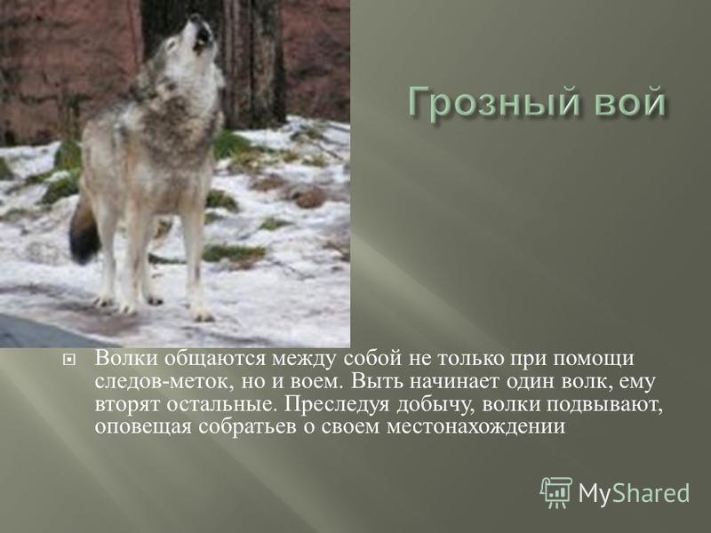 Волки общаются между собой не только при помощи следов - меток, но и воем. Выть начинает один волк, ему вторят остальные. Преследуя добычу, волки подвывают, оповещая собратьев о своем местонахождении