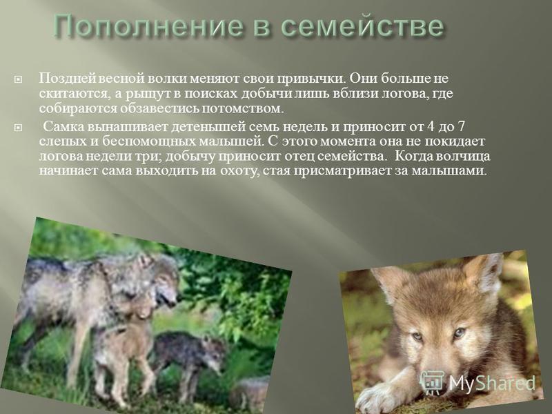Поздней весной волки меняют свои привычки. Они больше не скитаются, а рыщут в поисках добычи лишь вблизи логова, где собираются обзавестись потомством. Самка вынашивает детенышей семь недель и приносит от 4 до 7 слепых и беспомощных малышей. С этого