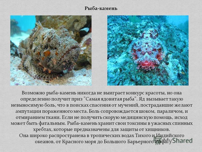 Рыба-камень Возможно рыба-камень никогда не выиграет конкурс красоты, но она определенно получит приз
