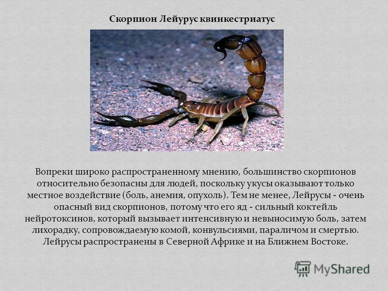 Скорпион Лейурус квинкестриатус Вопреки широко распространенному мнению, большинство скорпионов относительно безопасны для людей, поскольку укусы оказывают только местное воздействие (боль, анемия, опухоль). Тем не менее, Лейрусы - очень опасный вид