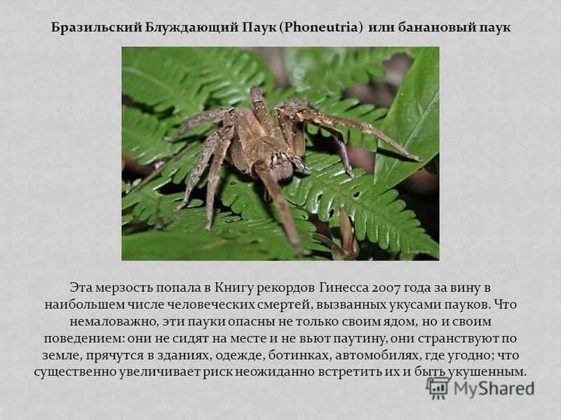 Бразильский Блуждающий Паук (Phoneutria) или банановый паук Эта мерзость попала в Книгу рекордов Гинесса 2007 года за вину в наибольшем числе человеческих смертей, вызванных укусами пауков. Что немаловажно, эти пауки опасны не только своим ядом, но и