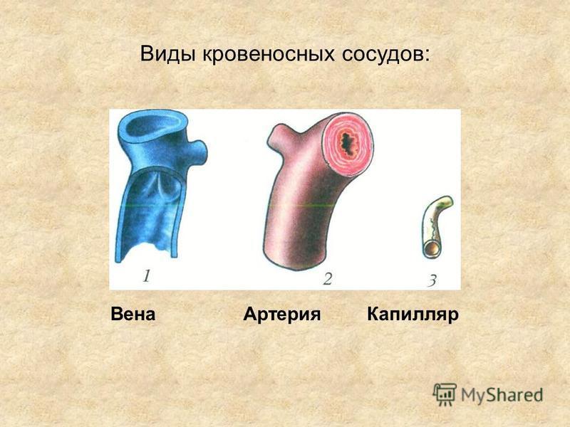 Виды кровеносных сосудов: Вена АртерияКапилляр