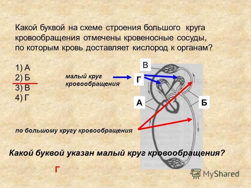 Какой буквой на схеме строения большого круга кровообращенияия отмечены кровеносные сосуды, по которым кровь доставляет кислород к органам? 1)А 2)Б 3)В 4)Г В Б Г А по большому кругу кровообращенияия Какой буквой указан малый круг кровообращенияия? Г