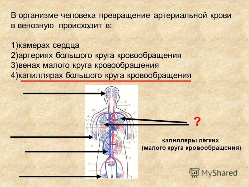 В организме человека превращение артериальной крови в венозную происходит в: 1)камерах сердца 2)артериях большого круга кровообращенияия 3)венах малого круга кровообращенияия 4)капиллярах большого круга кровообращенияия ? капилляры лёгких (малого кру