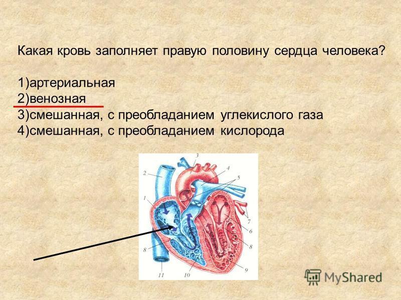 Какая кровь заполняет правую половину сердца человека? 1)артериальная 2)венозная 3)смешанная, с преобладанием углекислого газа 4)смешанная, с преобладанием кислорода