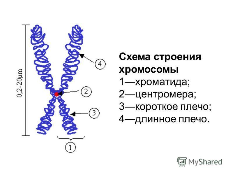 Схема строения хромосомы 1 хроматида; 2 центромера; 3 короткое плечо; 4 длинное плечо.