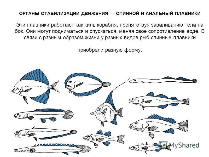 ОРГАНЫ СТАБИЛИЗАЦИИ ДВИЖЕНИЯ СПИННОЙ И АНАЛЬНЫЙ ПЛАВНИКИ Эти плавники работают как киль корабля, препятствуя заваливанию тела на бок. Они могут подниматься и опускаться, меняя свое сопротивление воде. В связи с разным образом жизни у разных видов рыб