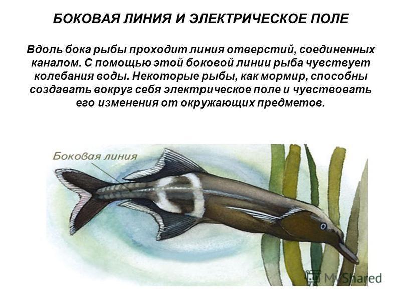 БОКОВАЯ ЛИНИЯ И ЭЛЕКТРИЧЕСКОЕ ПОЛЕ Вдоль бока рыбы проходит линия отверстий, соединенных каналом. С помощью этой боковой линии рыба чувствует колебания воды. Некоторые рыбы, как мор мир, способны создавать вокруг себя электрическое поле и чувствовать