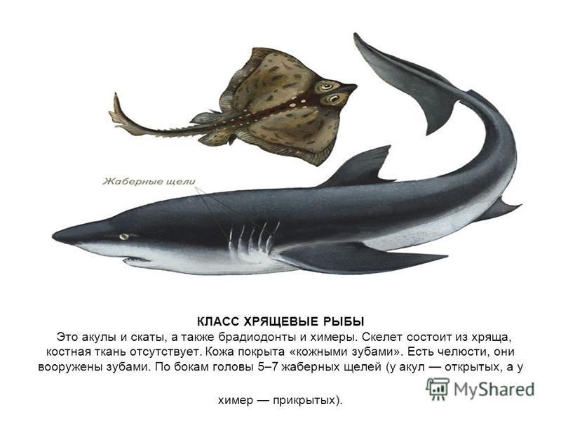 КЛАСС ХРЯЩЕВЫЕ РЫБЫ Это акулы и скаты, а также брадиодонты и химеры. Скелет состоит из хряща, костная ткань отсутствует. Кожа покрыта «кожными зубами». Есть челюсти, они вооружены зубами. По бокам головы 5–7 жаберных щелей (у акул открытых, а у химер