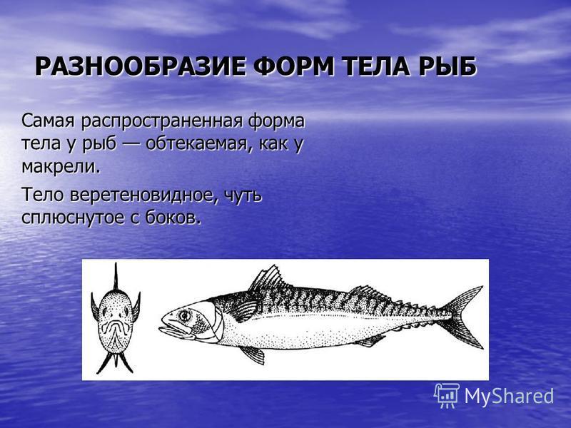 РАЗНООБРАЗИЕ ФОРМ ТЕЛА РЫБ Самая распространенная форма тела у рыб обтекаемая, как у макрели. Тело веретеновидное, чуть сплюснутое с боков. Тело веретеновидное, чуть сплюснутое с боков.