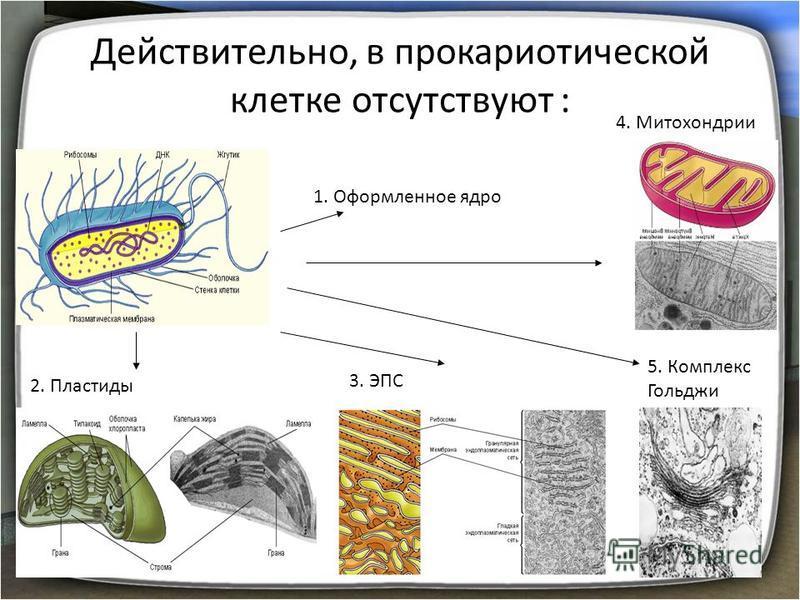 Действительно, в прокариотической клетке отсутствуют : 1. Оформленное ядро 2. Пластиды 3. ЭПС 4. Митохондрии 5. Комплекс Гольджи