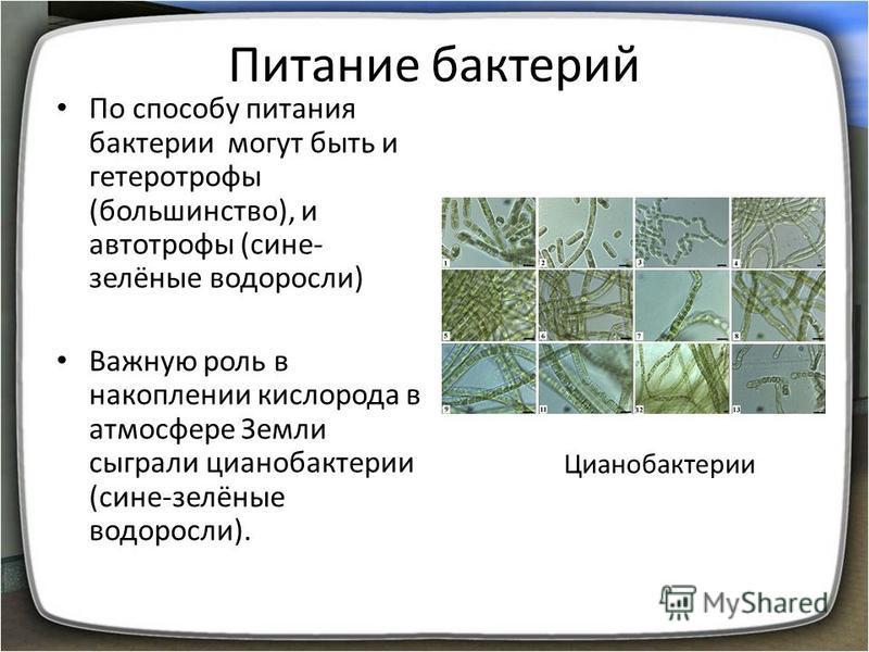 Питание бактерий По способу питания бактерии могут быть и гетеротрофы (большинство), и автотрофы (сине- зелёные водоросли) Важную роль в накоплении кислорода в атмосфере Земли сыграли цианобактерии (сине-зелёные водоросли). Цианобактерии
