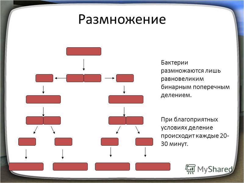 Размножение Бактерии размножаются лишь равновеликим бинарным поперечным делением. При благоприятных условиях деление происходит каждые 20- 30 минут.