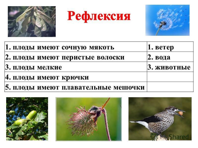 1. плоды имеют сочную мякоть 1. ветер 2. плоды имеют перистые волоски 2. вода 3. плоды мелкие 3. животные 4. плоды имеют крючки 5. плоды имеют плавательные мешочки
