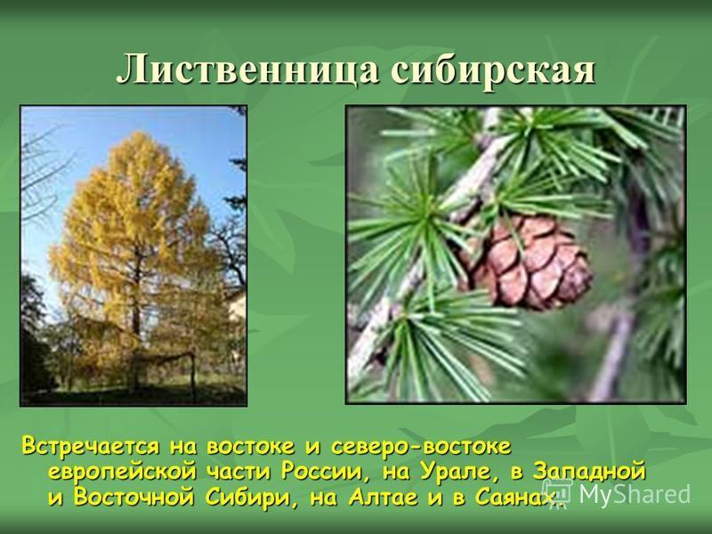 Лиственница сибирская Встречается на востоке и северо-востоке европейской части России, на Урале, в Западной и Восточной Сибири, на Алтае и в Саянах.