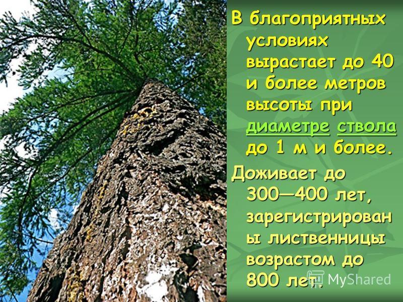 В благоприятных условиях вырастает до 40 и более метров высоты при диаметре ствола до 1 м и более. диаметре ствола диаметре ствола Доживает до 300400 лет, зарегистрирован ы лиственницы возрастом до 800 лет.