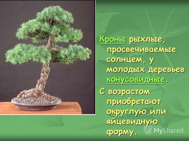 Кроны Кроны рыхлые, просвечиваемые солнцем, у молодых деревьев конусовидные. конусовидные Кроны конусовидные С возрастом приобретают округлую или яйцевидную форму.