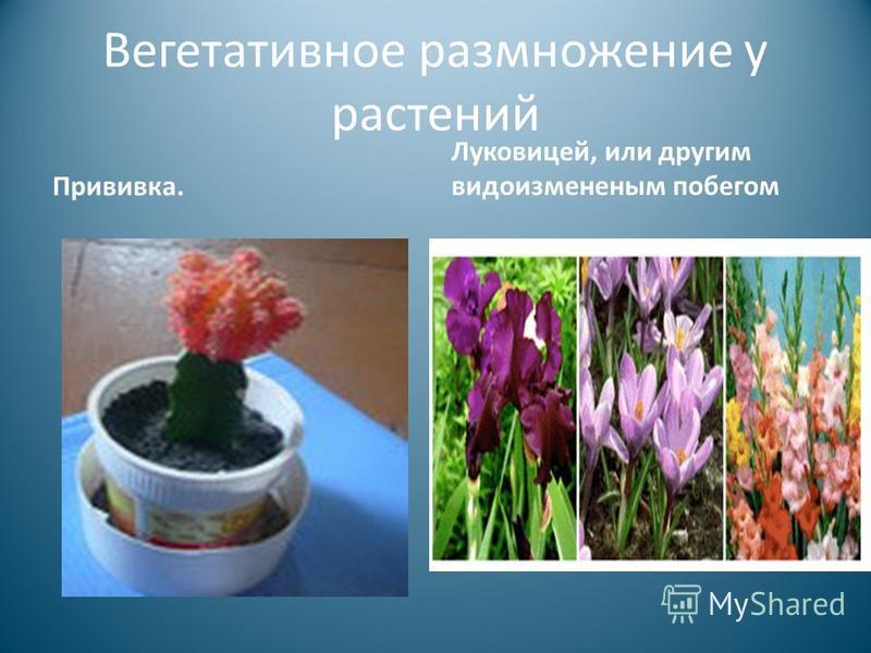 Вегетативное размножение у растений Прививка. Луковицей, или другим видоизмененным побегом