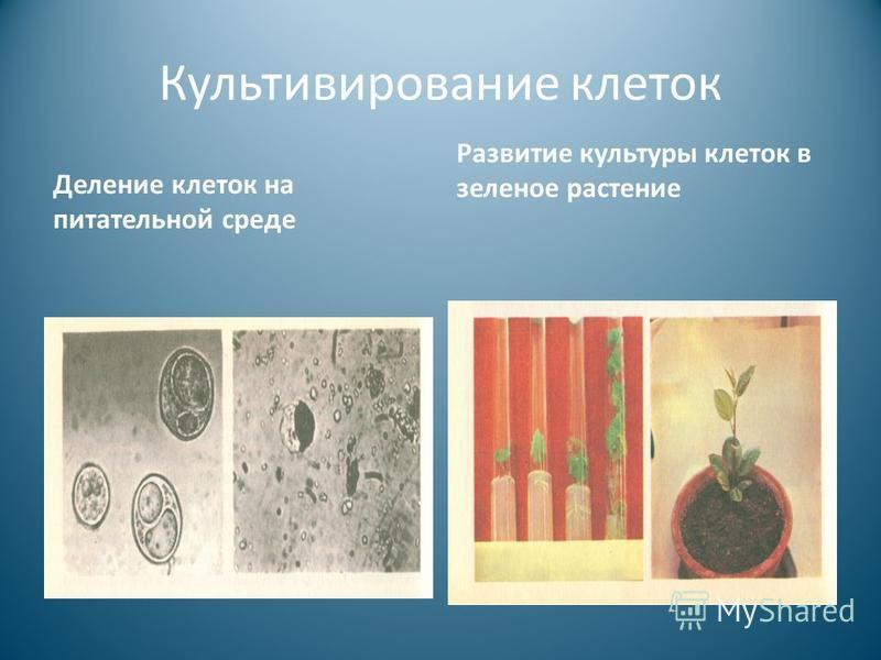 Культивирование клеток Деление клеток на питательной среде Развитие культуры клеток в зеленое растение