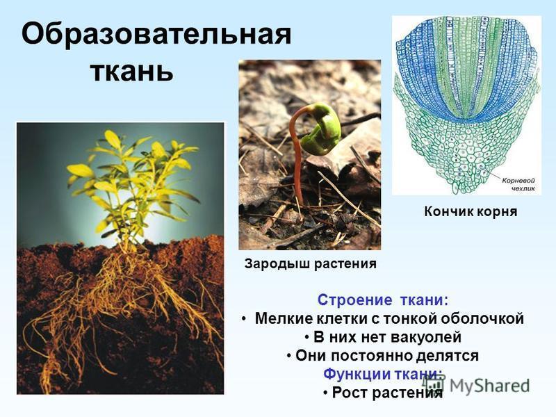 Образовательная ткань Строение ткани: Мелкие клетки с тонкой оболочкой В них нет вакуолей Они постоянно делятся Функции ткани: Рост растения Зародыш растения Кончик корня