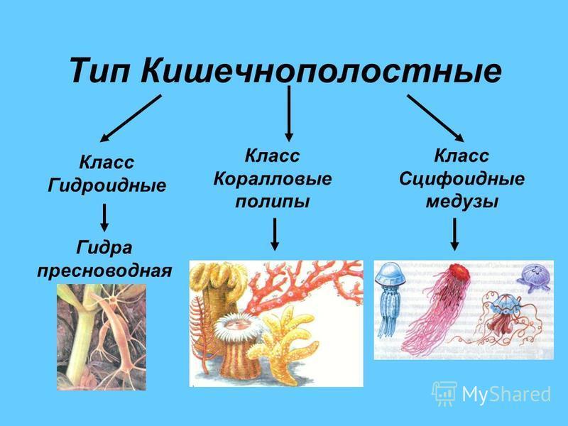 Тип Кишечнополостные Класс Гидроидные Класс Коралловые полипы Класс Сцифоидные медузы Гидра пресноводная