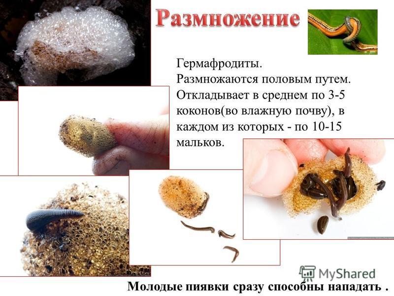 Гермафродиты. Размножаются половым путем. Откладывает в среднем по 3-5 коконов(во влажную почву), в каждом из которых - по 10-15 мальков. Молодые пиявки сразу способны нападать.