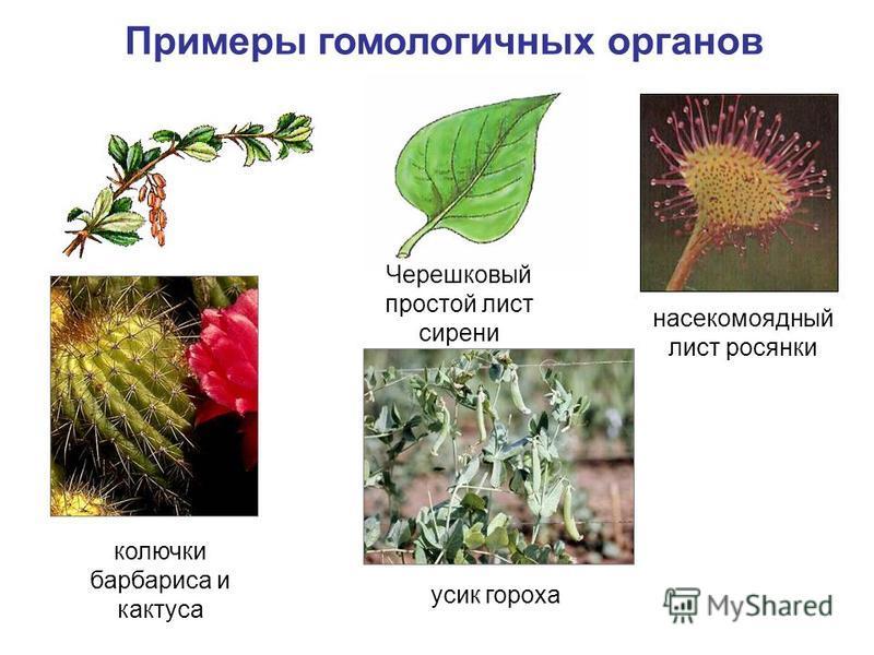 Примеры гомологичных органов насекомоядный лист росянки колючки барбариса и кактуса усик гороха Черешковый простой лист сирени