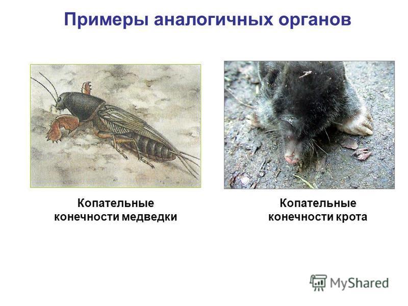Примеры аналогичных органов Копательные конечности крота Копательные конечности медведки