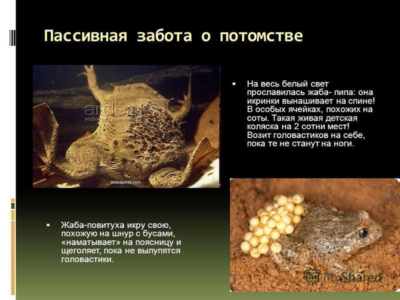 На весь белый свет прославилась жаба- пипа: она икринки вынашивает на спине! В особых ячейках, похожих на соты. Такая живая детская коляска на 2 сотни мест! Возит головастиков на себе, пока те не станут на ноги. Жаба-повитуха икру свою, похожую на шн