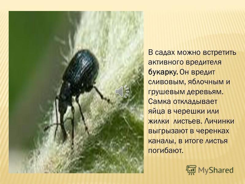 А сами жучки появляясь весной из личинок, как голодные волки бросаются на молодые сосенки и начинают вгрызаться в их кору. Несколько жуков могут погубить молодое дерево.
