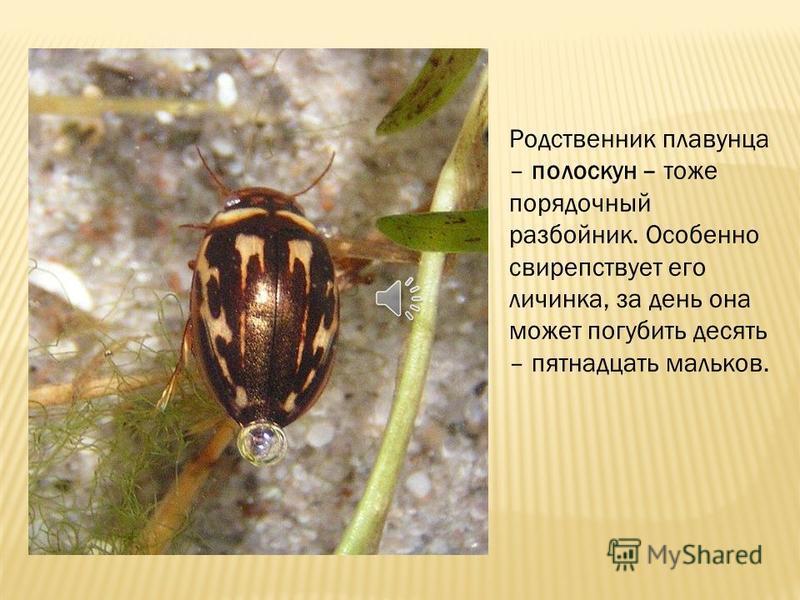 Плавунец окаймленный – этот жук настоящий разбойник. Он нападает на живущих в воде личинок насекомых, на головастиков, улиток, тритонов и даже мелких рыбешек. Иногда он всплывает на поверхность – запастись воздухом, который хранит под надкрыльями. А