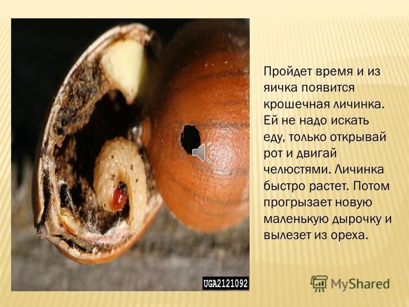 Часа два, три, а иногда и больше трудится долгоносик, пока проделает крошечную дырочку. Потом всовывает в нее тоненькую трубочку – яйцеклад.. По трубочке скользнет крошечное яичко. Затем жучиха отправляется на поиски нового ореха. Потом другого, трет