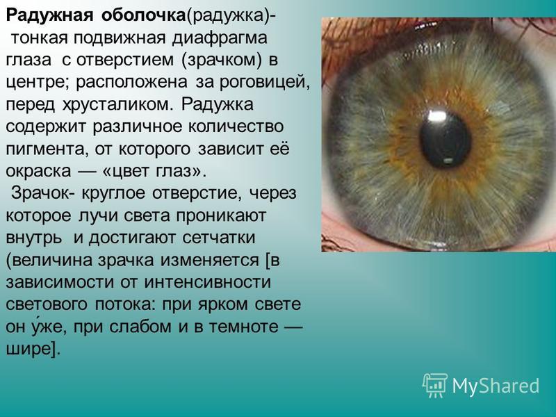 Радужная оболочка(радужка)- тонкая подвижная диафрагма глаза с отверстием (зрачком) в центре; расположена за роговицей, перед хрусталиком. Радужка содержит различное количество пигмента, от которого зависит её окраска «цвет глаз». Зрачок- круглое отв