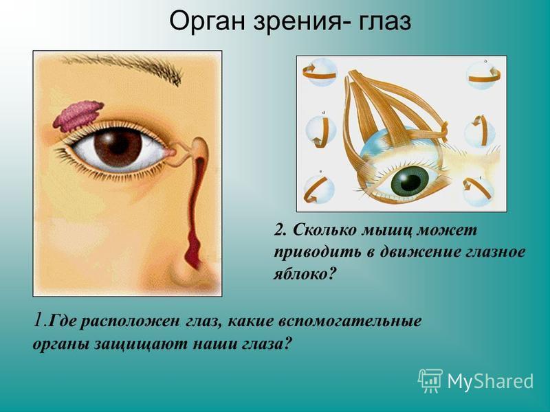 1. Где расположен глаз, какие вспомогательные органы защищают наши глаза? 2. Сколько мышц может приводить в движение глазное яблоко? Орган зрения- глаз