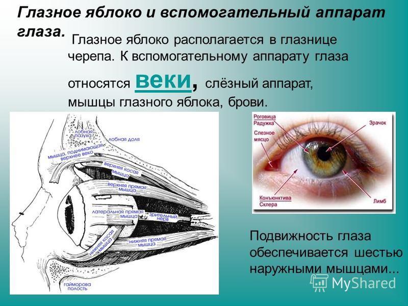 Глазное яблоко и вспомогательный аппарат глаза. Глазное яблоко располагается в глазнице черепа. К вспомогательному аппарату глаза относятся веки, слёзный аппарат, мышцы глазного яблока, брови. веки Подвижность глаза обеспечивается шестью наружными мы
