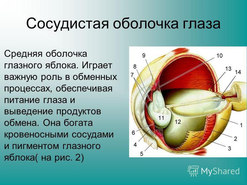 Сосудистая оболочка глаза Средняя оболочка глазного яблока. Играет важную роль в обменных процессах, обеспечивая питание глаза и выведение продуктов обмена. Она богата кровеносными сосудами и пигментом глазного яблока( на рис. 2)