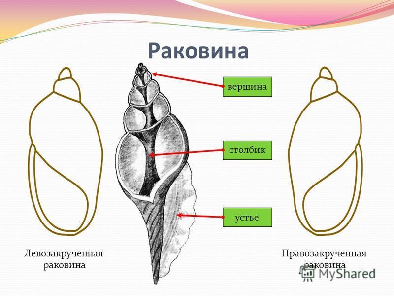 Раковина Левозакрученная раковина Правозакрученная раковина вершина столбик устье